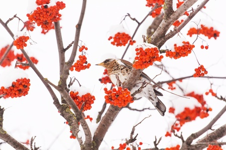 Fieldfare on the tree photo