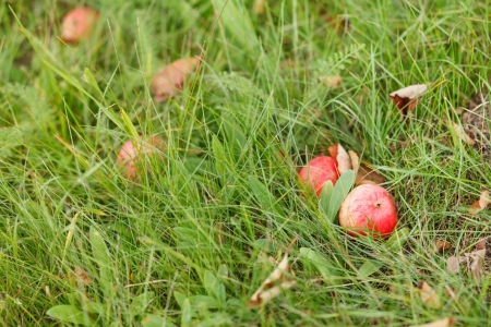 red apples on grass photo
