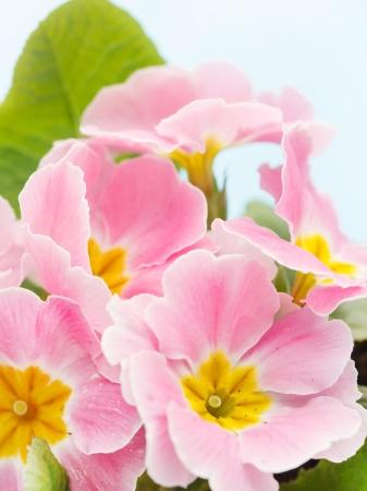 polyanthus: Pink primrose