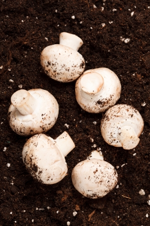 mushrooms on the soil photo