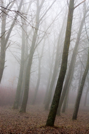 Trees in fog  photo