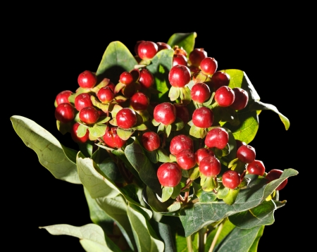 christmas berries: bacche di Natale