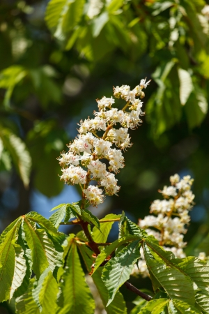 aesculus hippocastanum: Flowering branches of chestnu Stock Photo