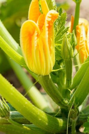 Flowering zicchini