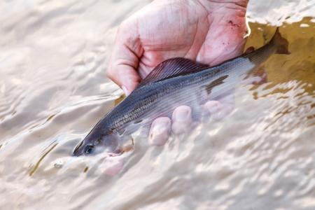 grayling: pescador tiene un grayling Foto de archivo
