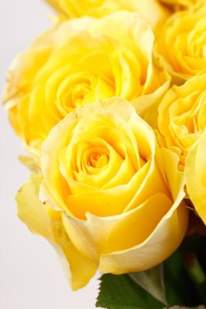 beautiful roses  Reklamní fotografie