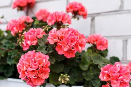 trailing: Nice geranium Stock Photo