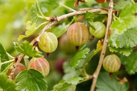 gooseberry bush: Gooseberries in the garden