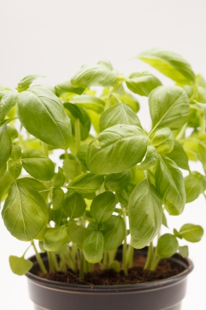 fresh basil photo