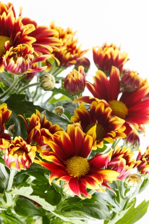 chrysanthemum in the pot photo