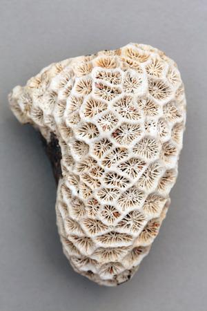 stony coral: stony coral