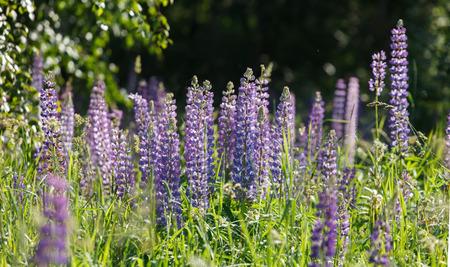 lupines: Wild lupines Stock Photo