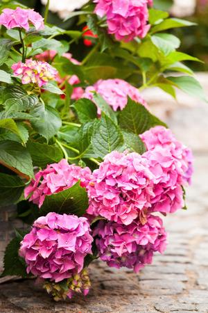 rosa Hortensien Standard-Bild