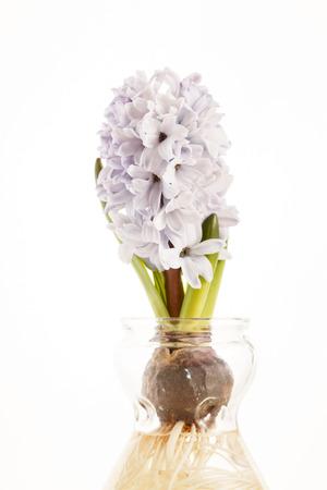 hyacinth: hyacinth