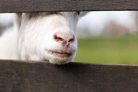 Portrait of a goat photo