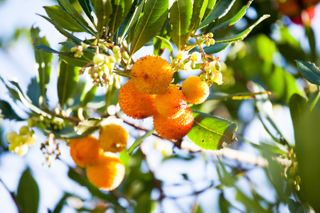 strawberry tree: strawberry tree (arbutus unedo)