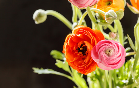 buttercup persian: Fiori variopinti ranuncolo persiano (Ranunculus)