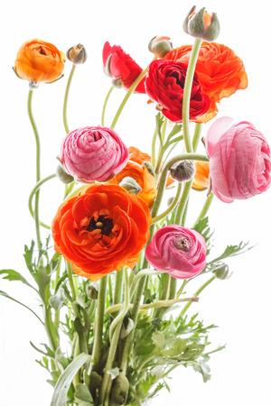 Bunte persische Buttercup Blumen (Hahnenfuß)