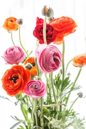 Colorful persian buttercup flowers (ranunculus) photo