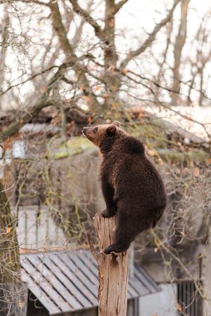 nordic nature: Brown Bear