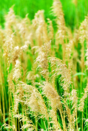 reeds: canne