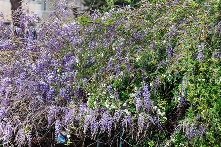 wistaria: beautiful lilac wistaria flower Stock Photo
