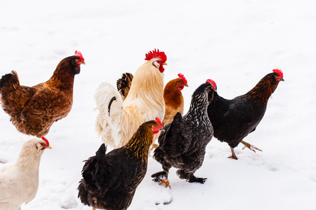 hen and chicken: chickens on the farm
