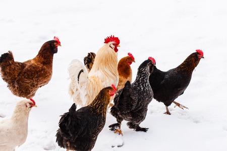 gallina con huevos: pollos en la granja