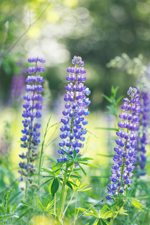 lupines: Wild lupines Stock Photo