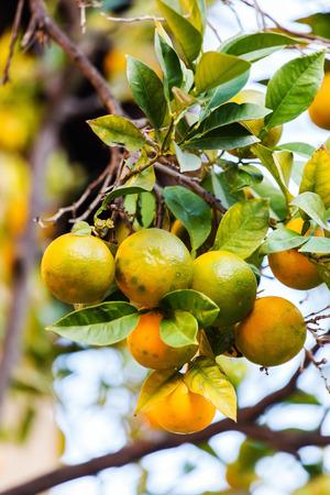 naranja arbol: naranjo  Foto de archivo