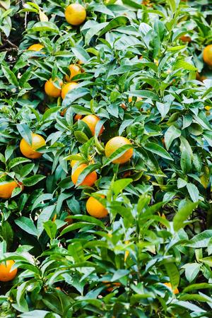 naranja arbol: