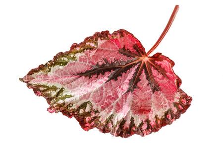 begonia: begonia leaf