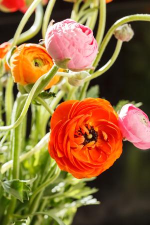 buttercup persian: