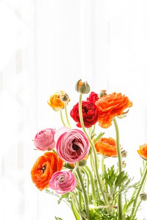persian buttercup: Colorful persian buttercup flowers (ranunculus)