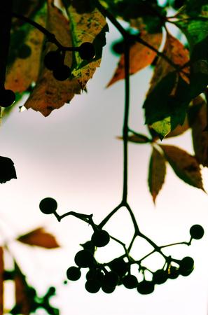 bunchy: autumn berries Stock Photo