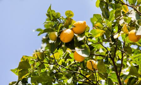 naranja arbol: Lemon Tree  Foto de archivo