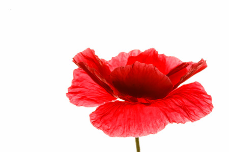 poppy: amapola aislados en el blanco