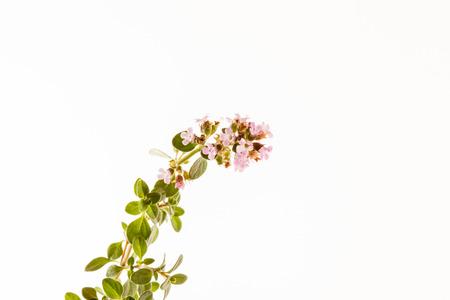 tomillo: flor de tomillo