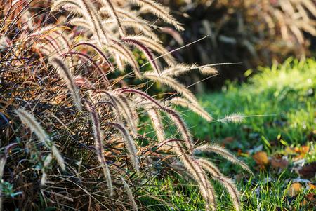 bluegrass: nice plants Stock Photo