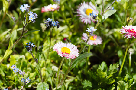 daisywheel: field of daisy