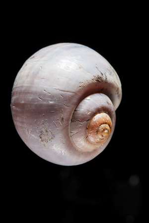 echinoderm: shell on black Stock Photo