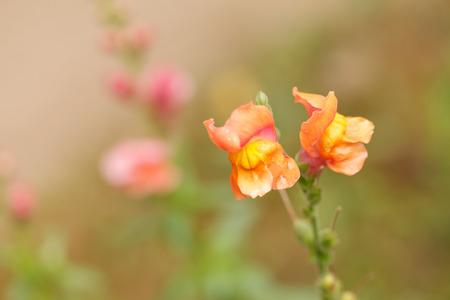 snapdragon: Snapdragon flowers