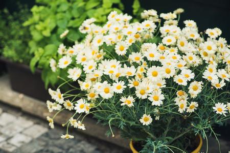 margarite: daisy bouquet