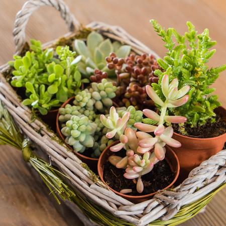 succulent: succulent plants