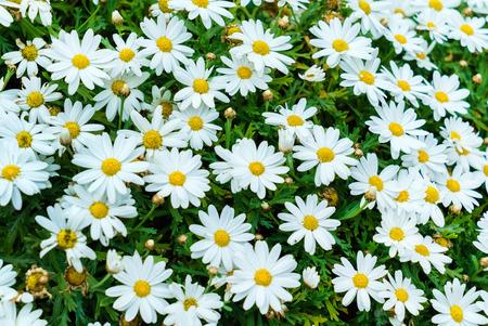 margarite: nice daisies