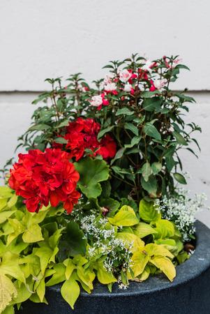 cordyline: container gardening