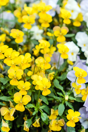 viola flowers Stock Photo - 128518889