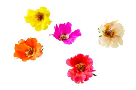 purslane flower isolated Stockfoto