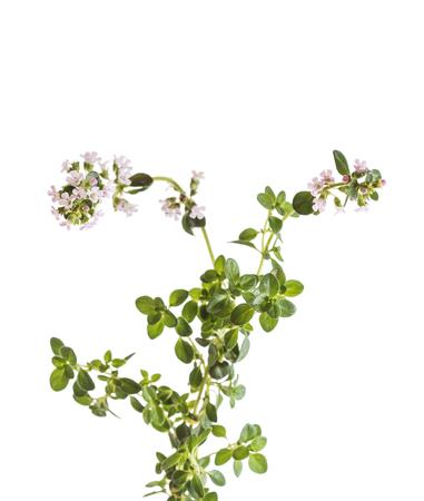 kwiaty tymianku na białym tle