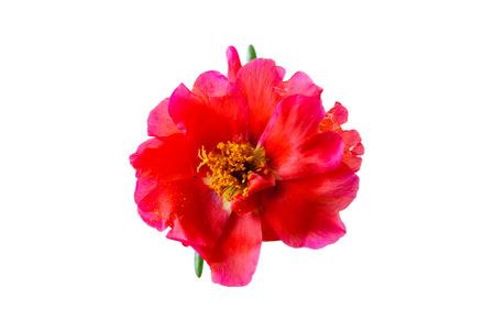 purslane flower isolated Banco de Imagens